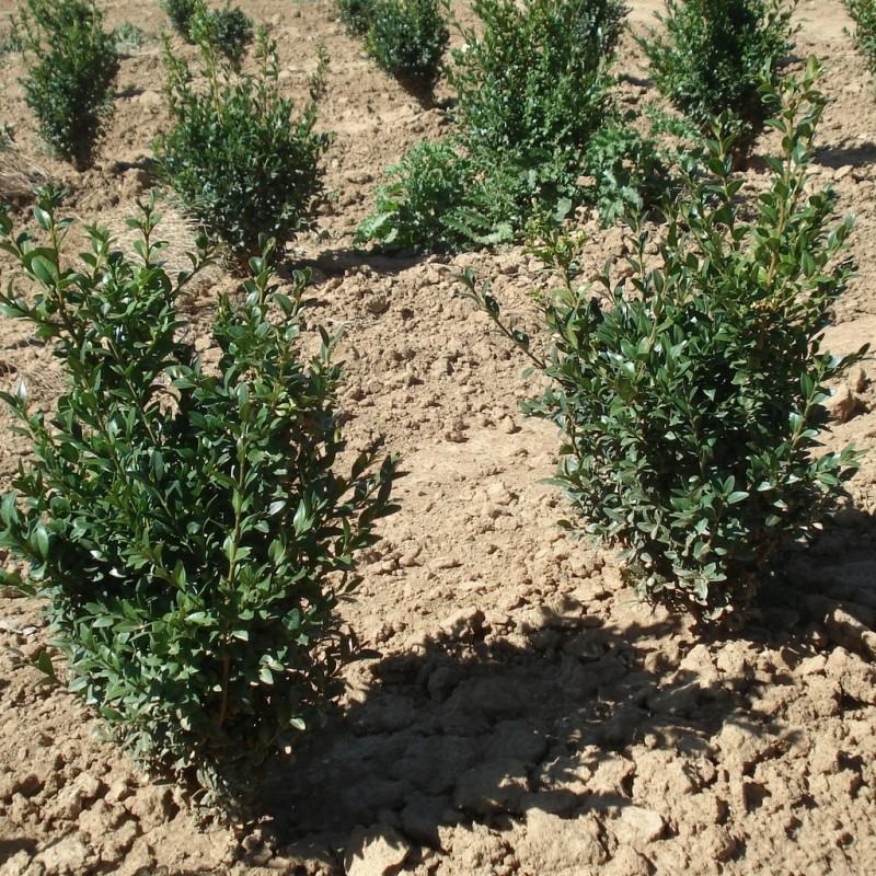 Vente en ligne de Buis 'Arborescens'   2