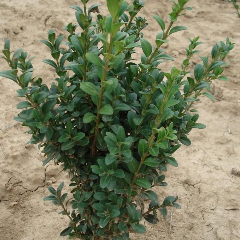 Vente en ligne de Buis 'Arborescens'   3