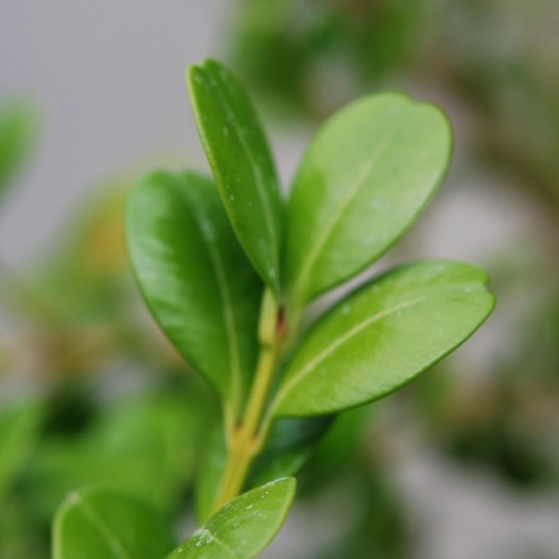 Vente en ligne de Buis commun à feuilles rondes 1