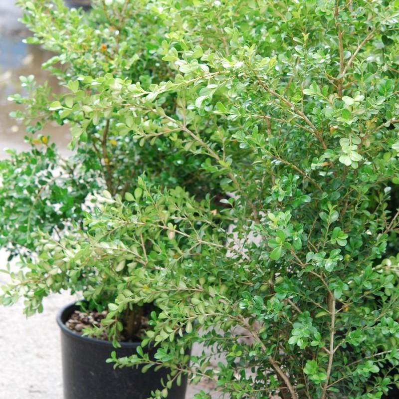 Vente en ligne de Buis commun à feuilles rondes 2