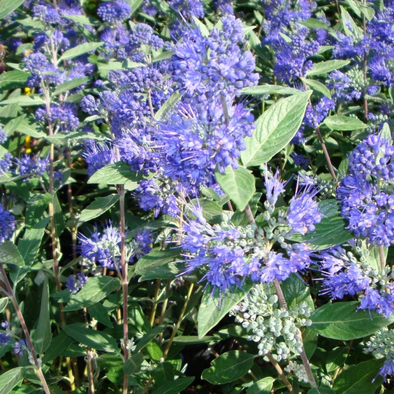 Vente en ligne de Caryopteris 'Heavenly blue' 2