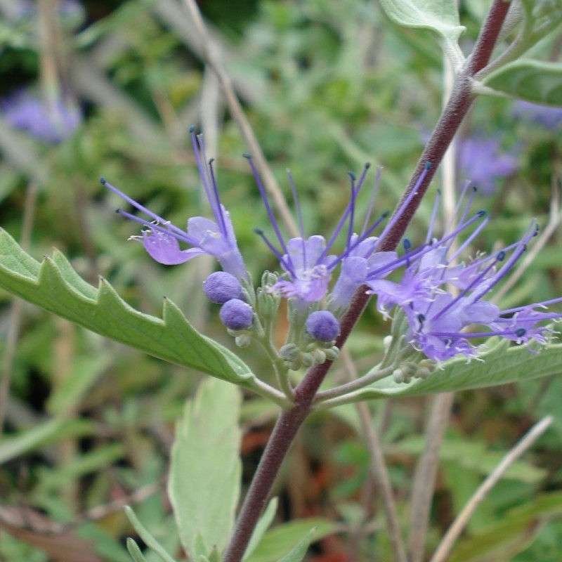 Vente en ligne de Caryopteris 'Heavenly blue' 3