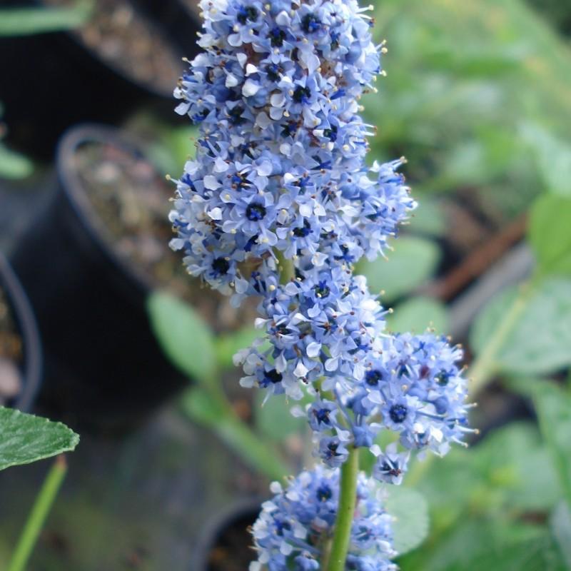 Vente en ligne de Céanothe 'Trewithen blue' 0