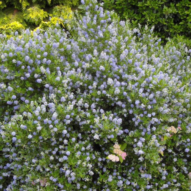 Vente en ligne de Céanothe 'Puget blue' 1