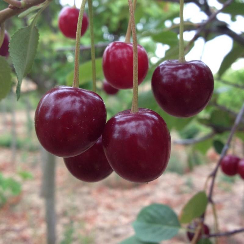 Vente en ligne de CERISIER - Prunus cerasus - griotte 'Griotte du Nord' 1