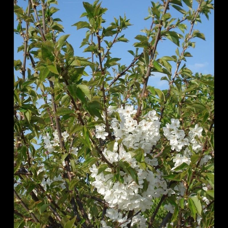Vente en ligne de CERISIER - Prunus avium - bigarreau 'Hatif de burlat' 0