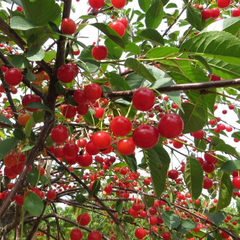 Vente en ligne de CERISIER - Prunus cerasus - griotte 'Montmorency' 1