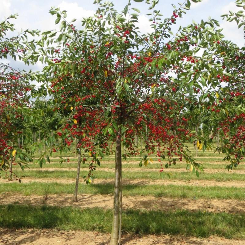 Vente en ligne de CERISIER - Prunus cerasus - griotte 'Montmorency' 2