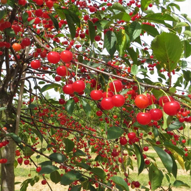 Vente en ligne de CERISIER - Prunus cerasus - griotte 'Montmorency pleureur' 0
