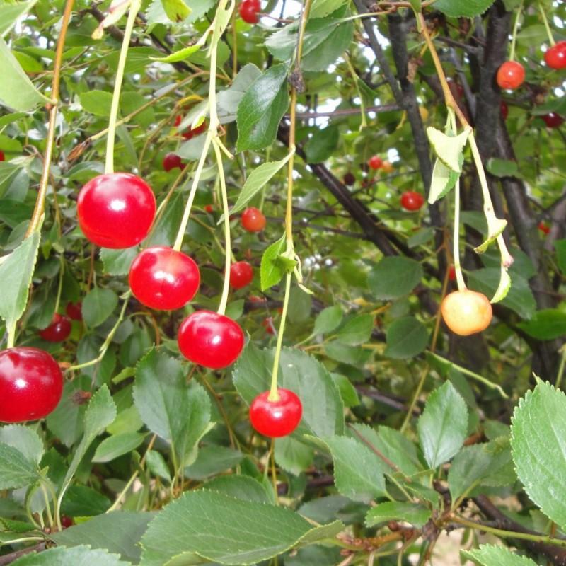 Vente en ligne de CERISIER - Prunus cerasus - griotte 'Toussaint' 0