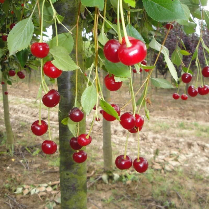 Vente en ligne de CERISIER - Prunus cerasus - griotte 'Toussaint' 2