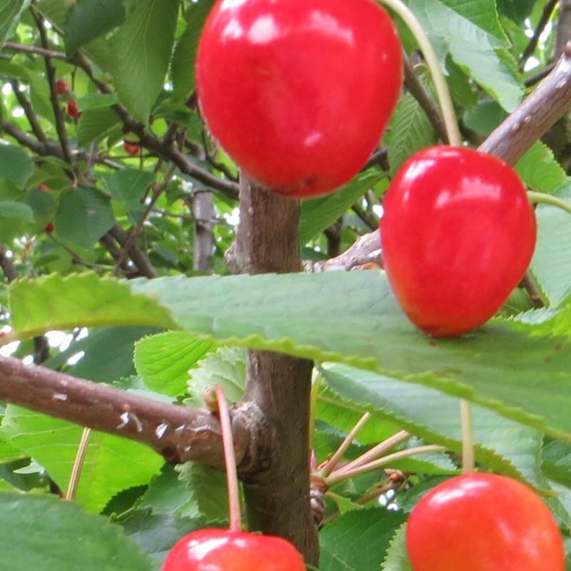 Vente en ligne de CERISIER - Prunus avium - bigarreau 'Van' 1