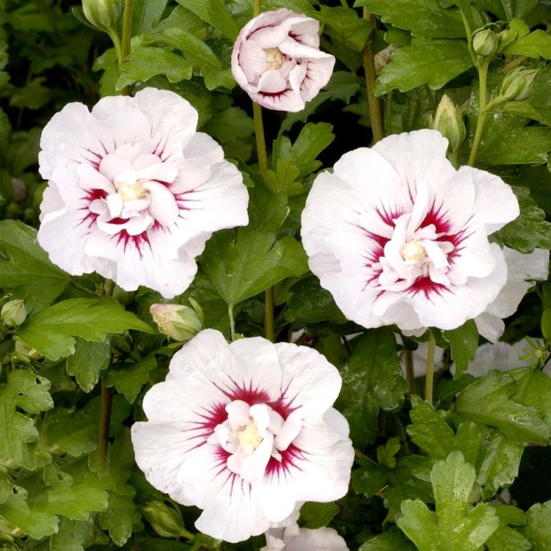 Vente en ligne de Althea à fleurs doubles blanc à cœur rouge 1