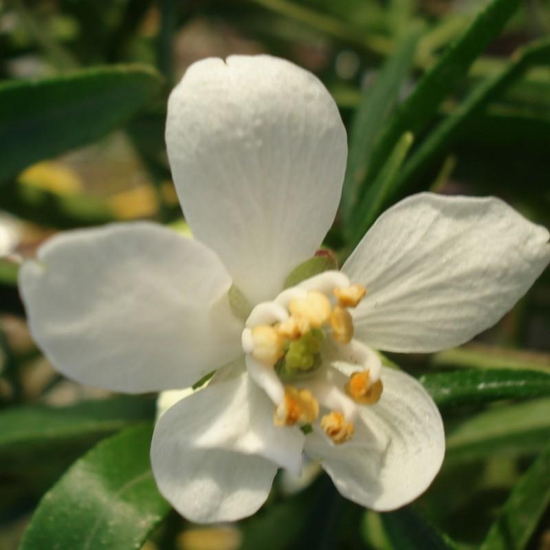 Vente en ligne de Oranger du Mexique Aztec pearl 3