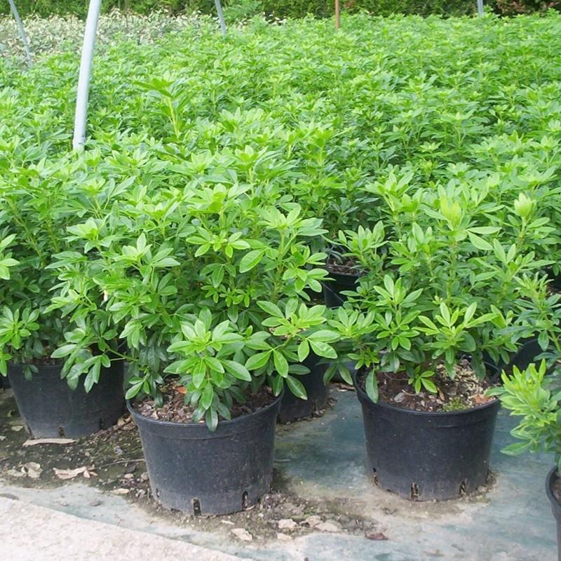 Vente en ligne de Oranger du Mexique 3