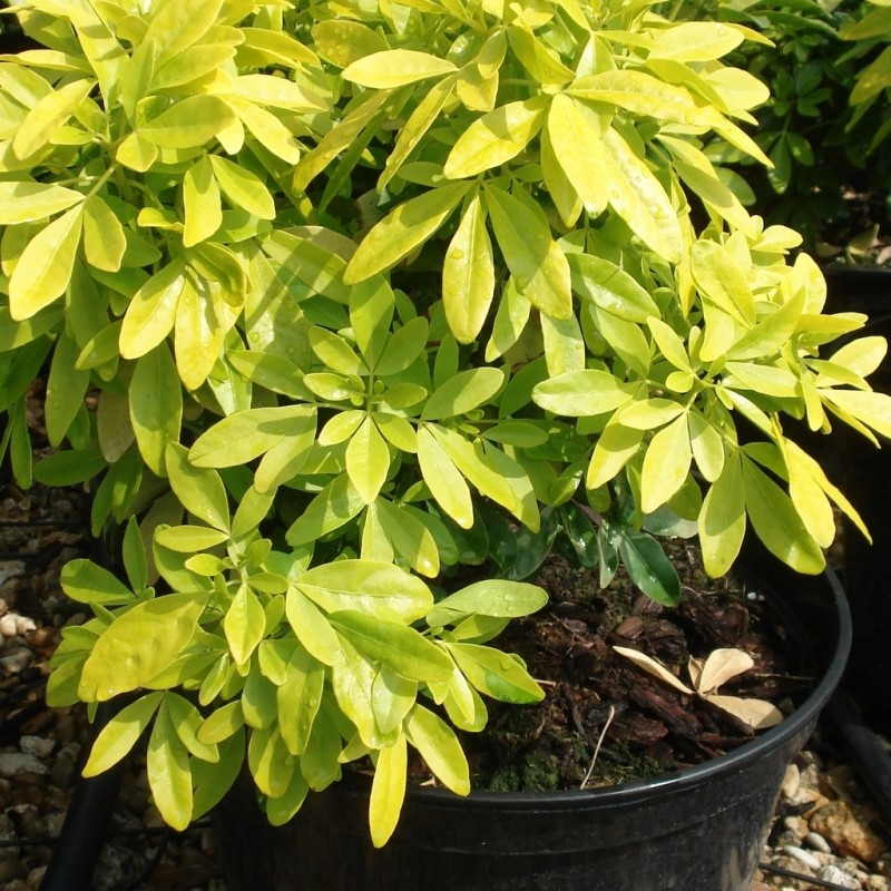 Vente de oranger du mexique dor fines feuilles p pini res chatelain - Oranger du mexique feuilles jaunes ...