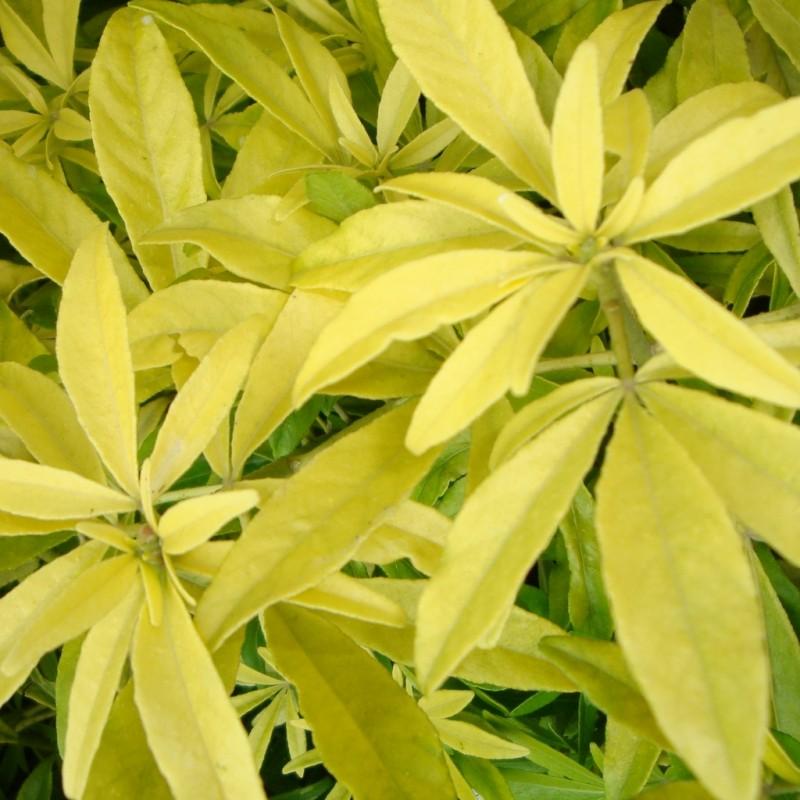 Vente en ligne de Oranger du Mexique doré à fines feuilles 1