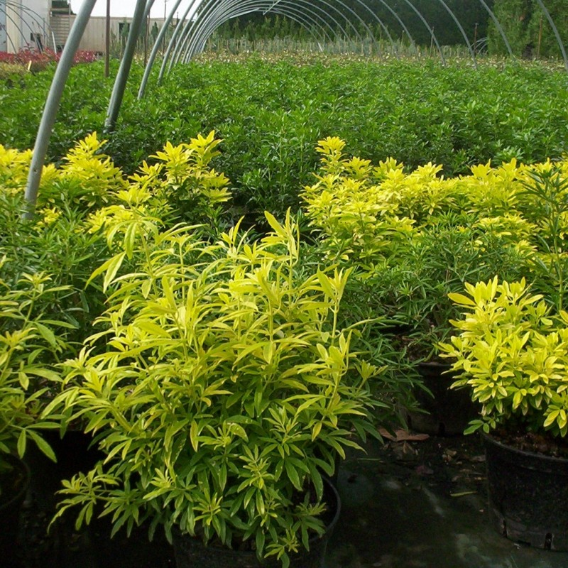 Vente en ligne de Oranger du Mexique doré à fines feuilles 2