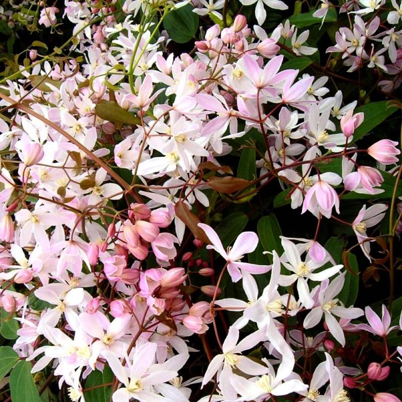 Vente en ligne de Clématite persistante à fleurs blanches 0