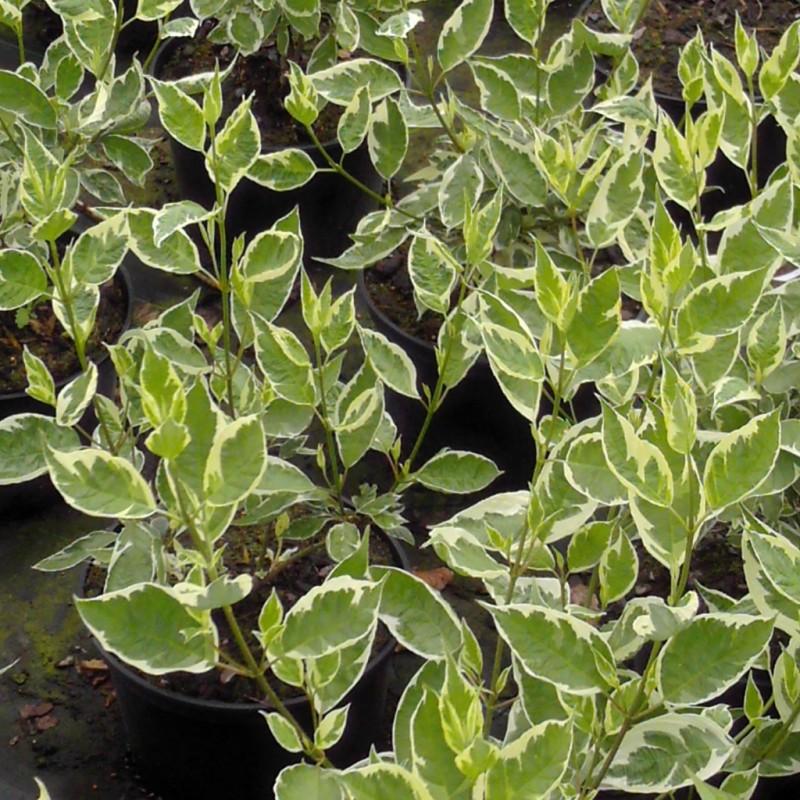 Vente en ligne de Cornouiller panaché blanc 1