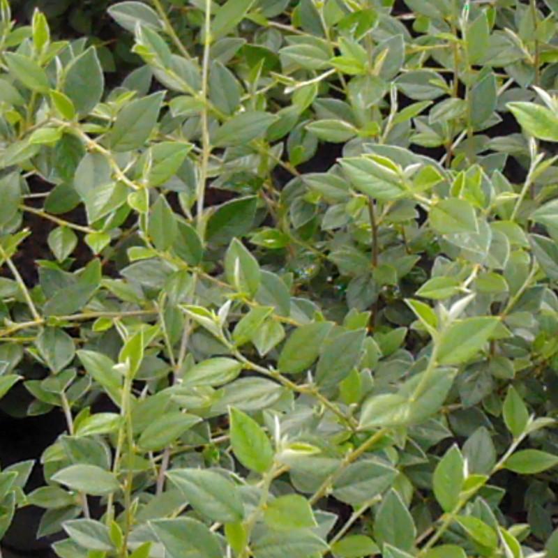 Vente en ligne de Cotoneaster franchetti 0