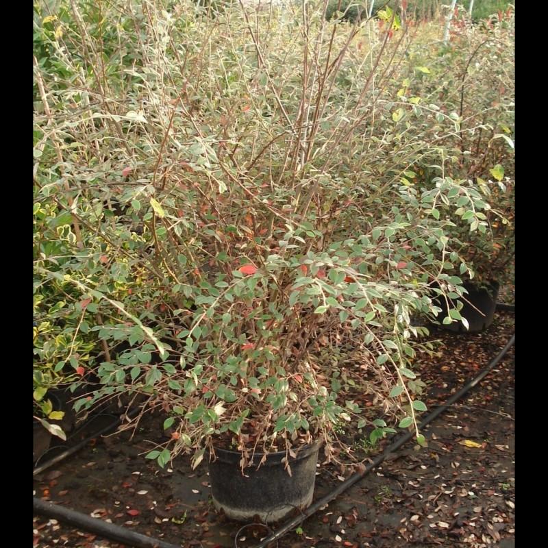 Vente en ligne de Cotoneaster franchetti 1