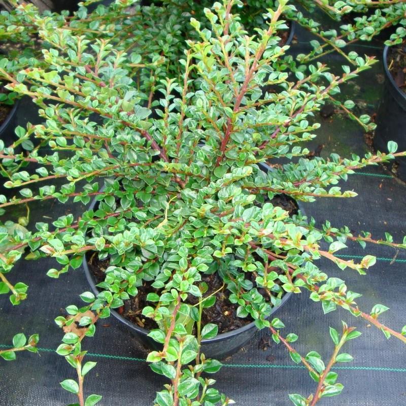 Vente en ligne de Cotoneaster horizontalis 1