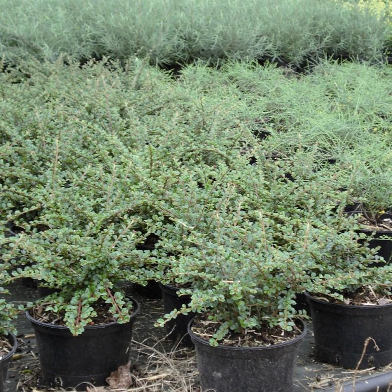 Vente en ligne de Cotoneaster horizontalis 2