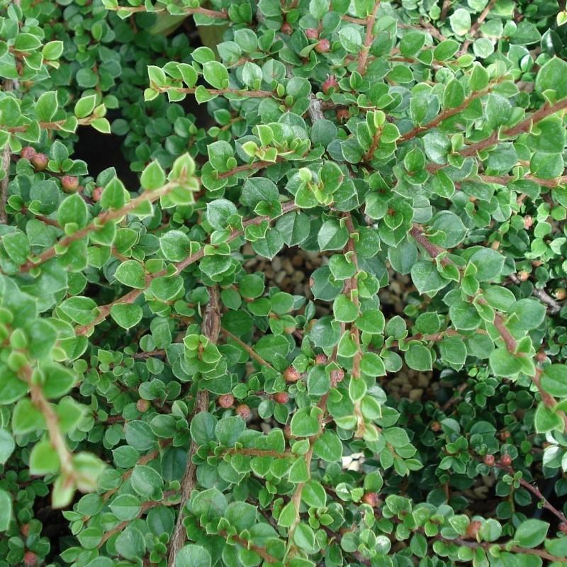 Vente en ligne de Cotoneaster horizontalis 4