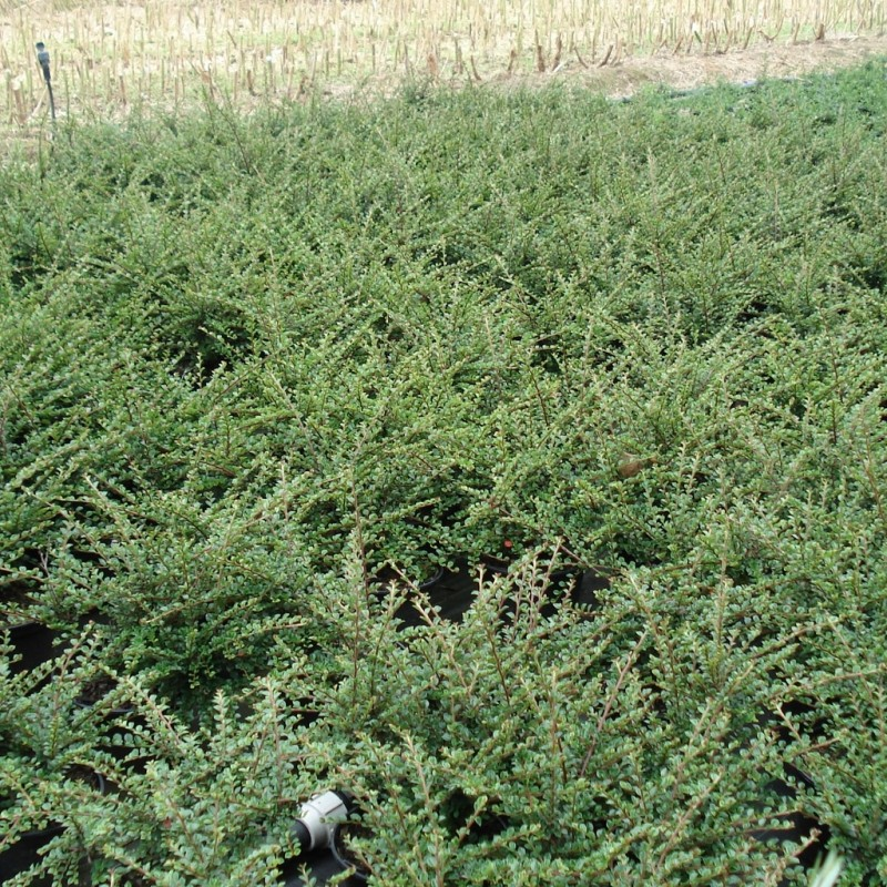 Vente en ligne de Cotoneaster horizontalis 5