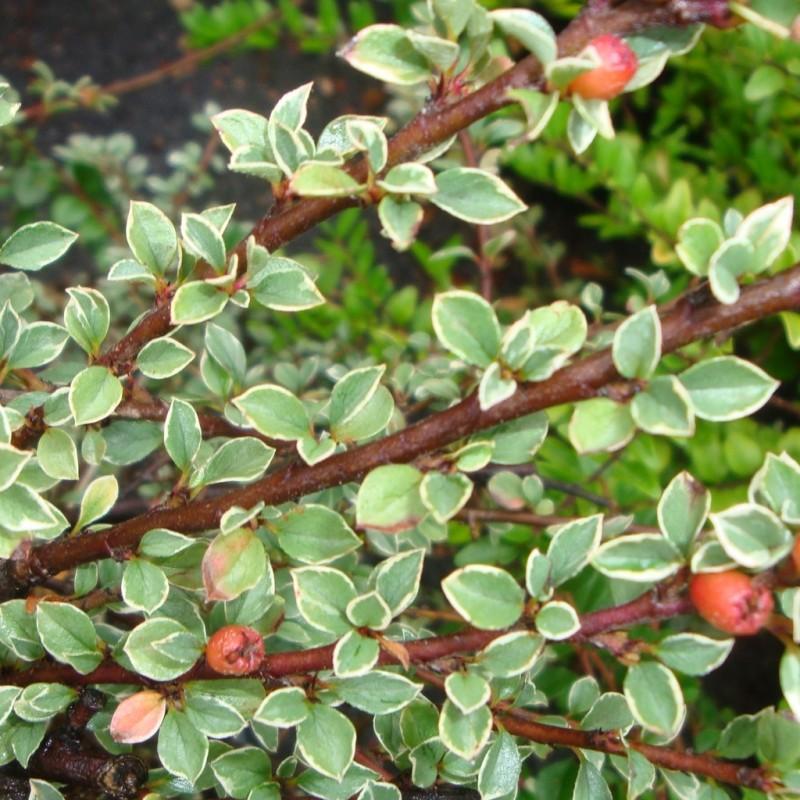 Vente en ligne de Cotoneaster panaché 1