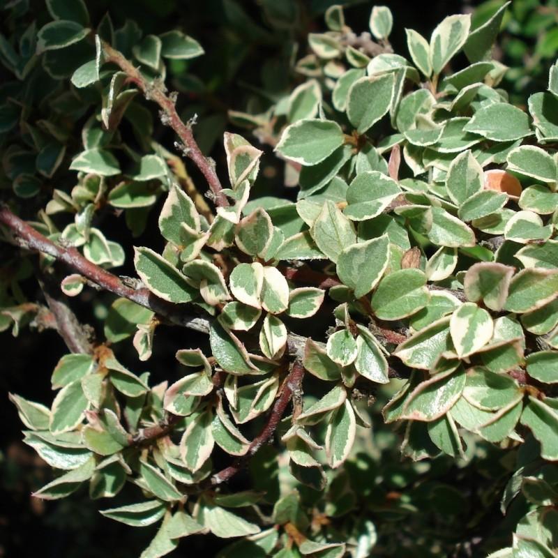 Vente en ligne de Cotoneaster panaché 2