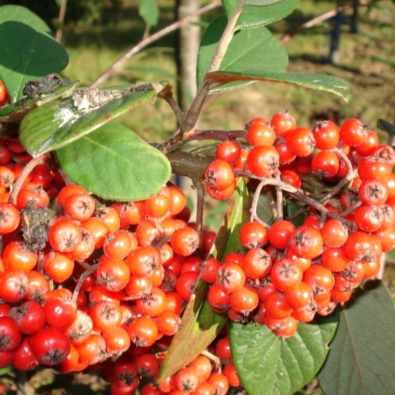Vente en ligne de Cotoneaster lactea 0
