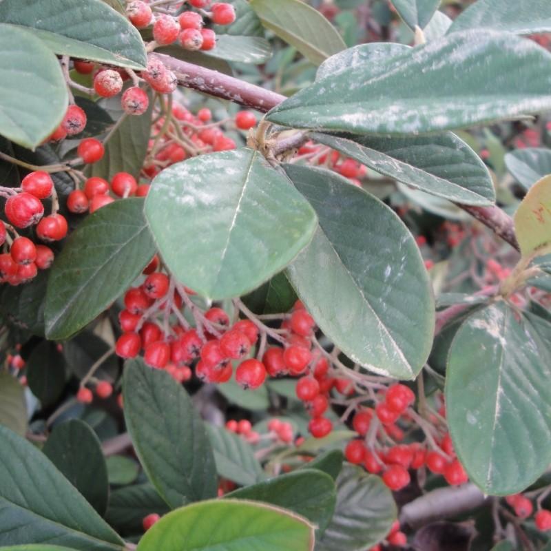 Vente en ligne de Cotoneaster lactea 1