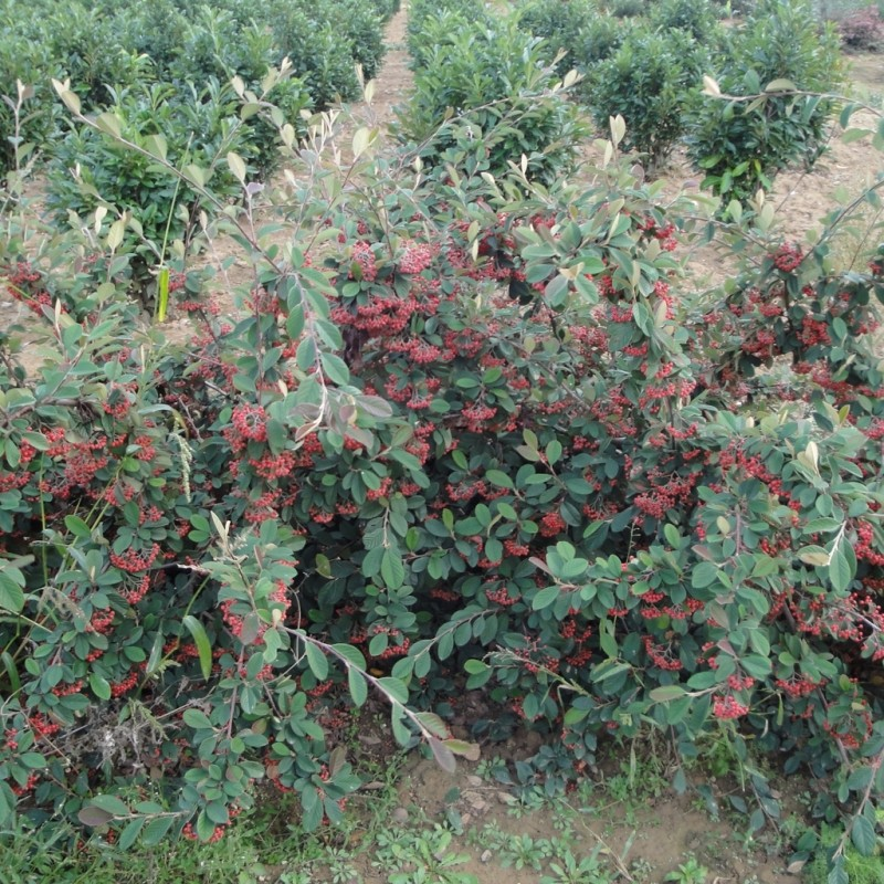 Vente en ligne de Cotoneaster lactea 2