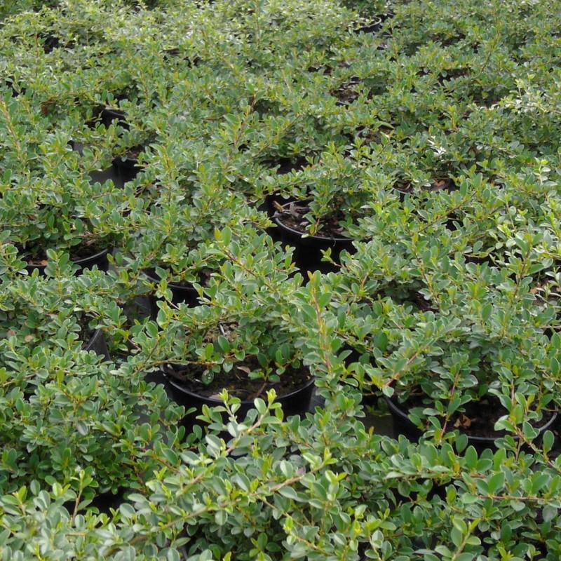 Vente en ligne de Cotoneaster radicans 0