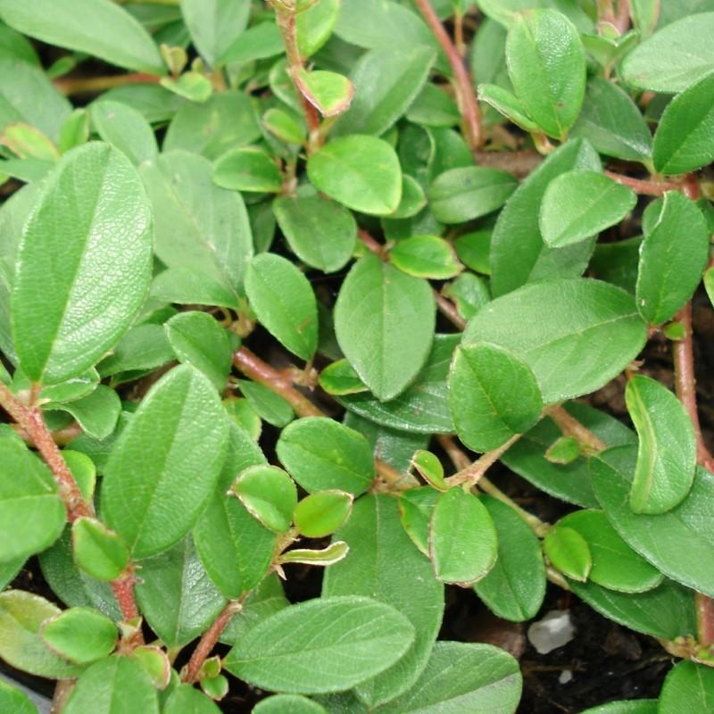 Vente en ligne de Cotoneaster radicans 1
