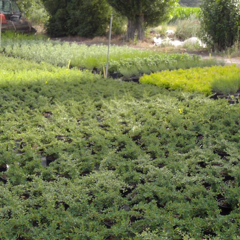 Vente en ligne de Cotoneaster radicans 2