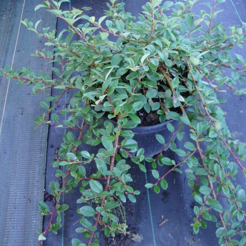 Vente en ligne de Cotoneaster 'Eicholtz' 1
