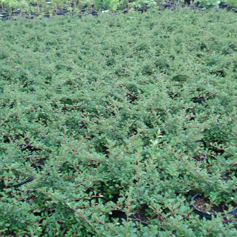 Vente en ligne de Cotoneaster 'Eicholtz' 3