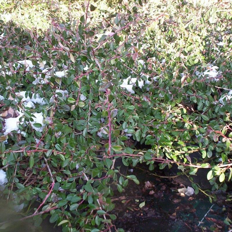 Vente en ligne de Cotoneaster 'Sckogholm' 2