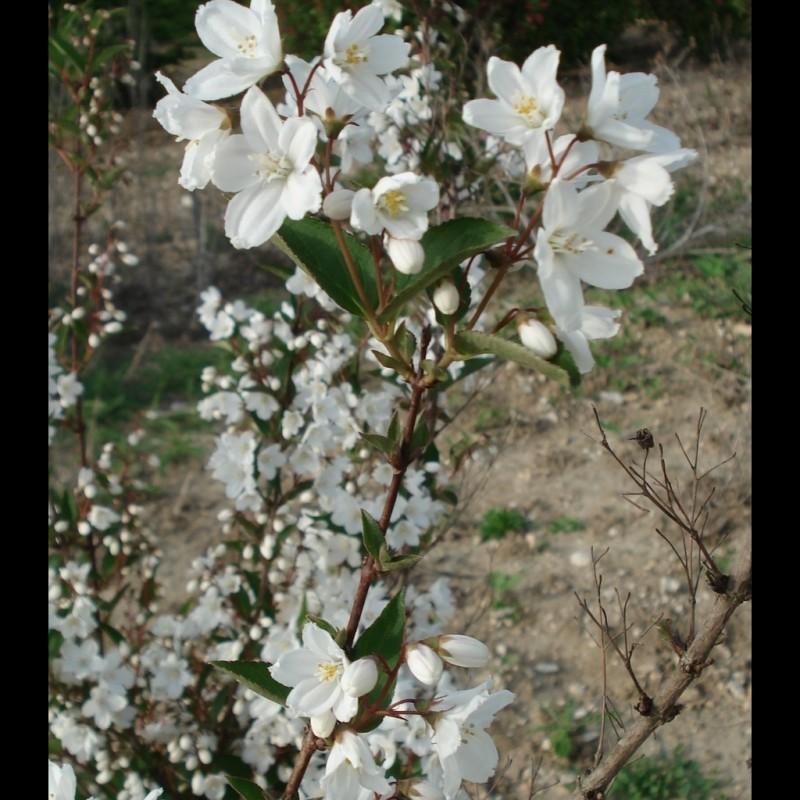 Vente en ligne de Deutzia gracilis 1