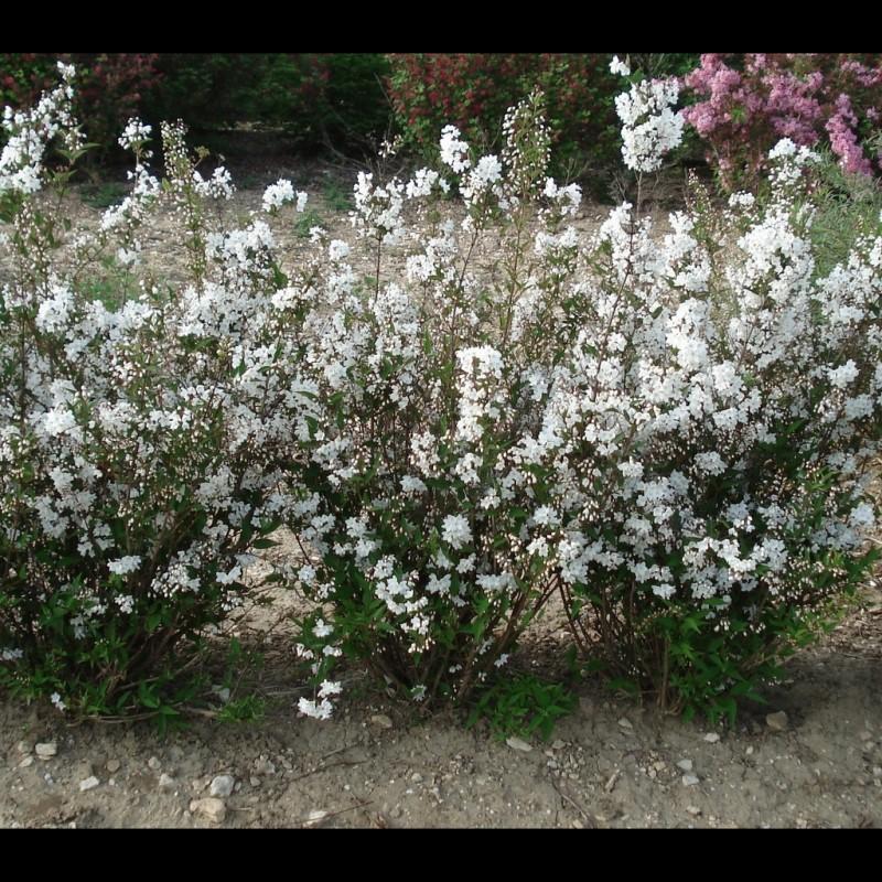 Vente en ligne de Deutzia gracilis 3