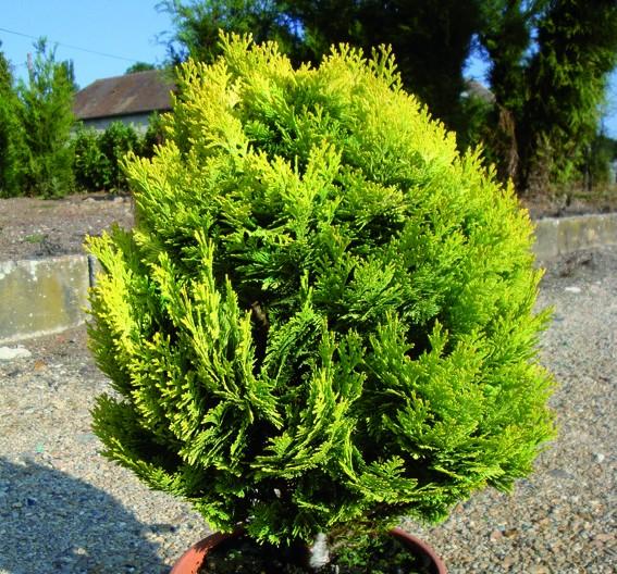 Vente en ligne de Chamaecyparis Minima aurea 0