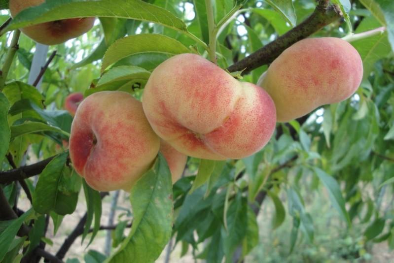 Vente en ligne de PECHER - Prunus persica 'Saturne baïlou' 0