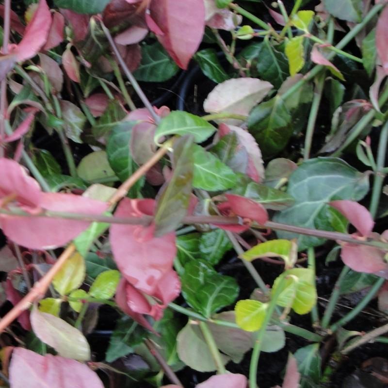 Vente en ligne de Fusain rampant vert 'Coloratus' 3