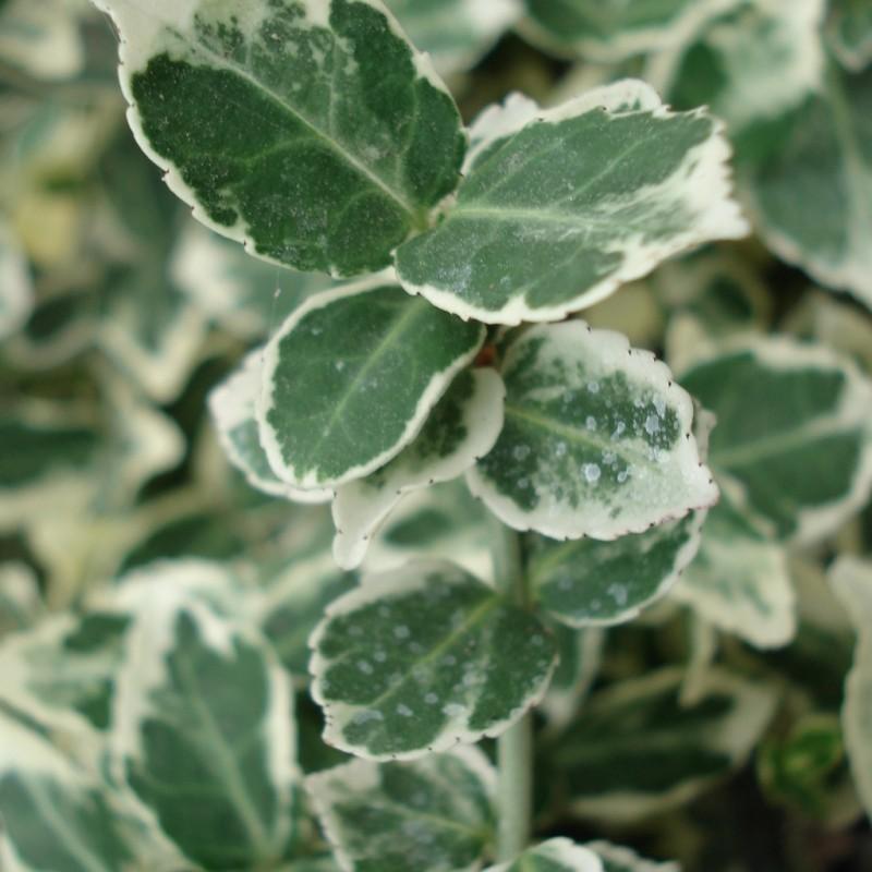 Vente en ligne de Fusain nain panaché blanc 'Emerald gaiety' 1