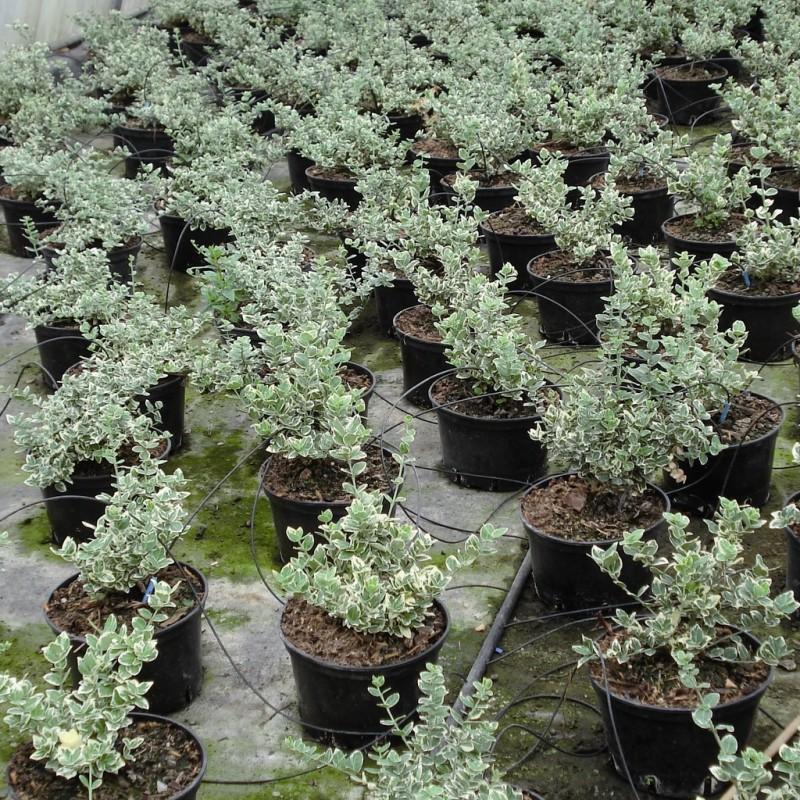 Vente en ligne de Fusain nain panaché blanc 'Emerald gaiety' 2