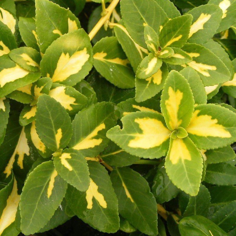 Vente en ligne de Fusain rampant panaché jaune 'Sunspot' 0
