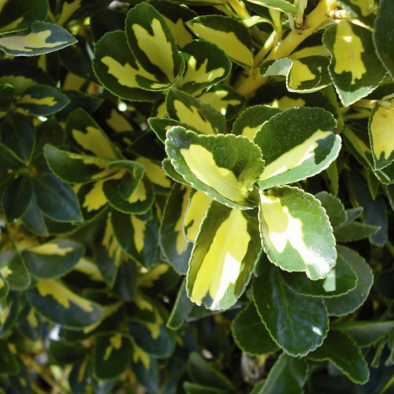 Vente en ligne de Fusain panache jaune 'Aureopictus' 0